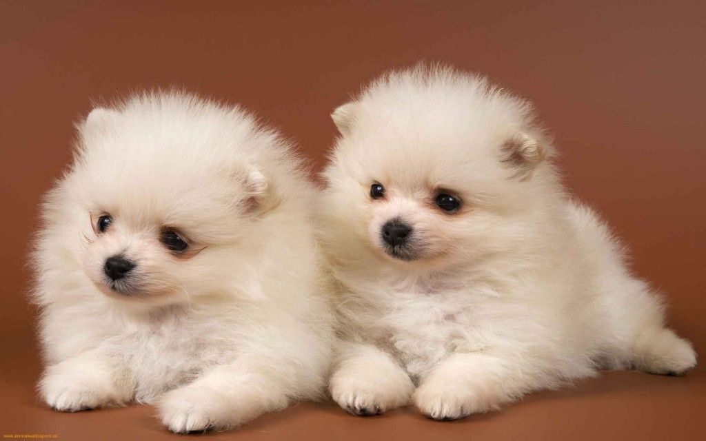 Two Cute Chow Chow Puppies Photos