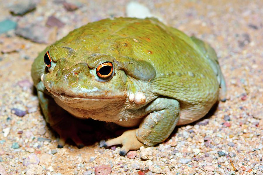 Psychoactive toad: toads from which psychoactive substances from the family of bufotoxins can be derived;the skin or poison of the toads may produce psychoactive effects when ingested; ex: Sonoran Desert Toad