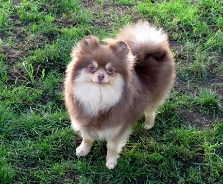 Chocolate With Silver Markings Cute Animals Pomeranian Puppy