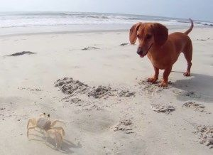 Madeline The Dachshund Meets A Crab Dapple Dachshund Puppy