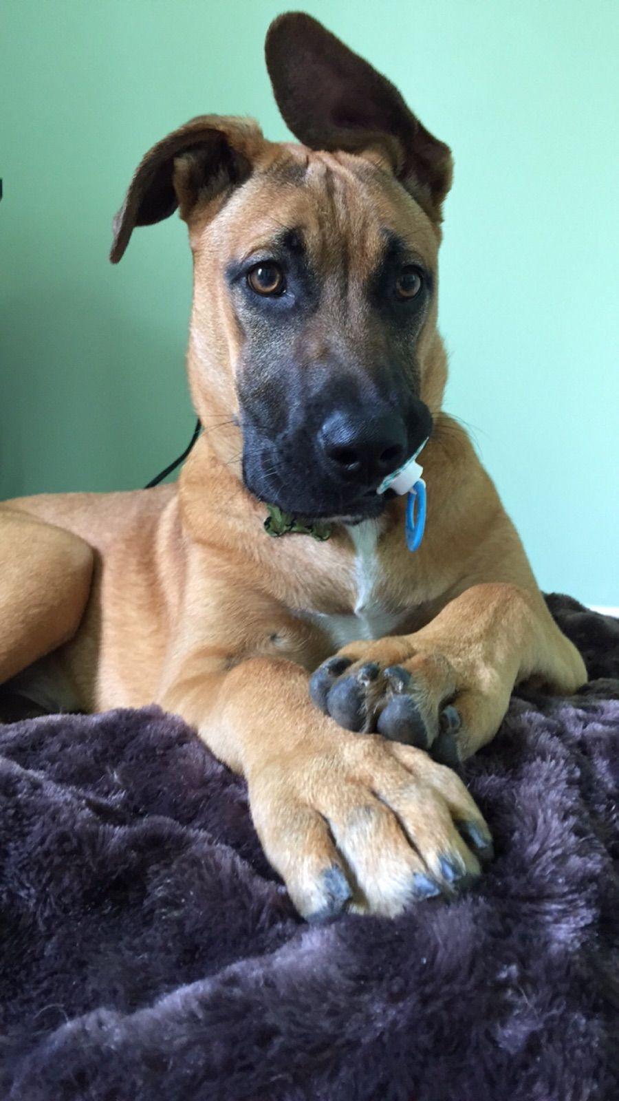 Hank Great Dane Dogs Dane Dog Dane Puppies