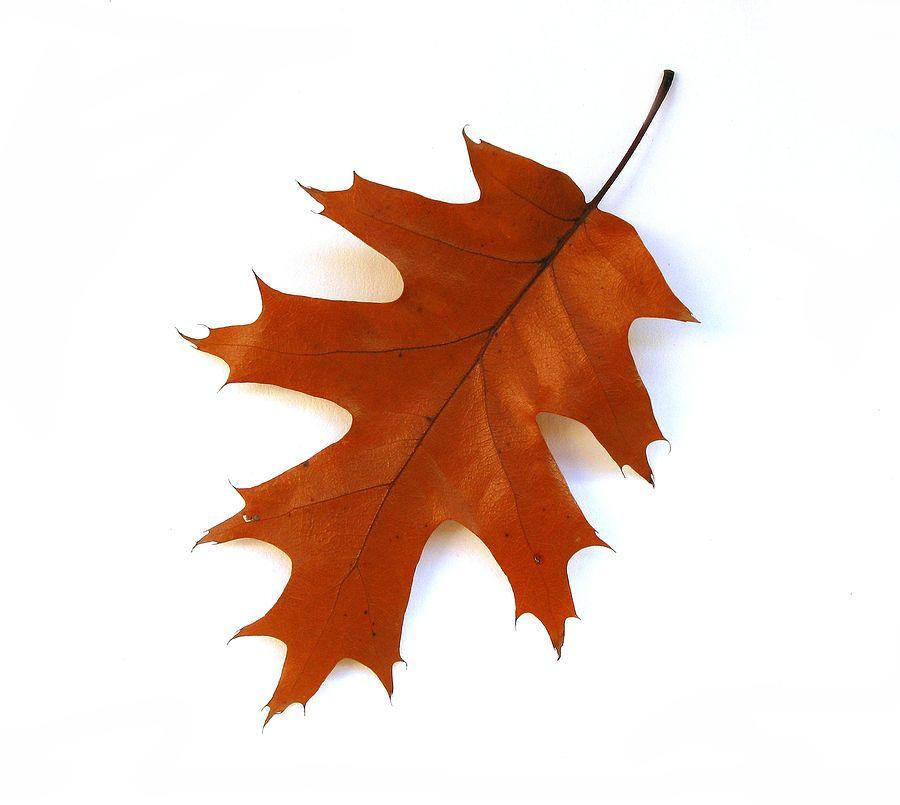 bigstock-Fall-Oak-Leaf-On-White-Backgro-249225.jpg (900×805)