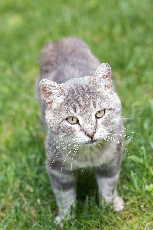 Stubby The Feral Kitty Cat Grey Tabby Cats Tabby Cat Tabby Cat