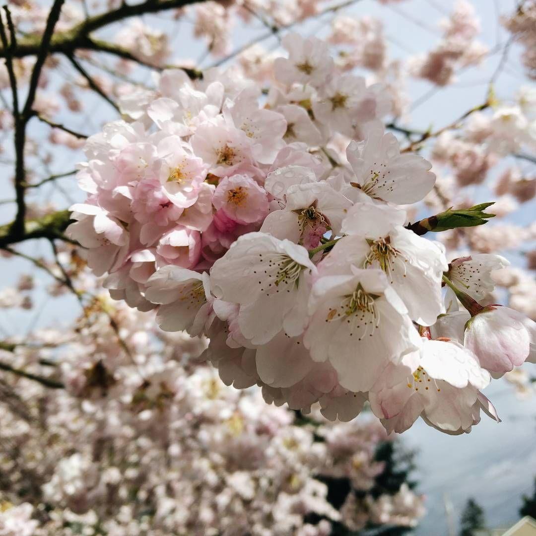 Julianna Swaneey Cherry Blossom Season Cherry Blossom Spring Flowers Cherry Blossom Season
