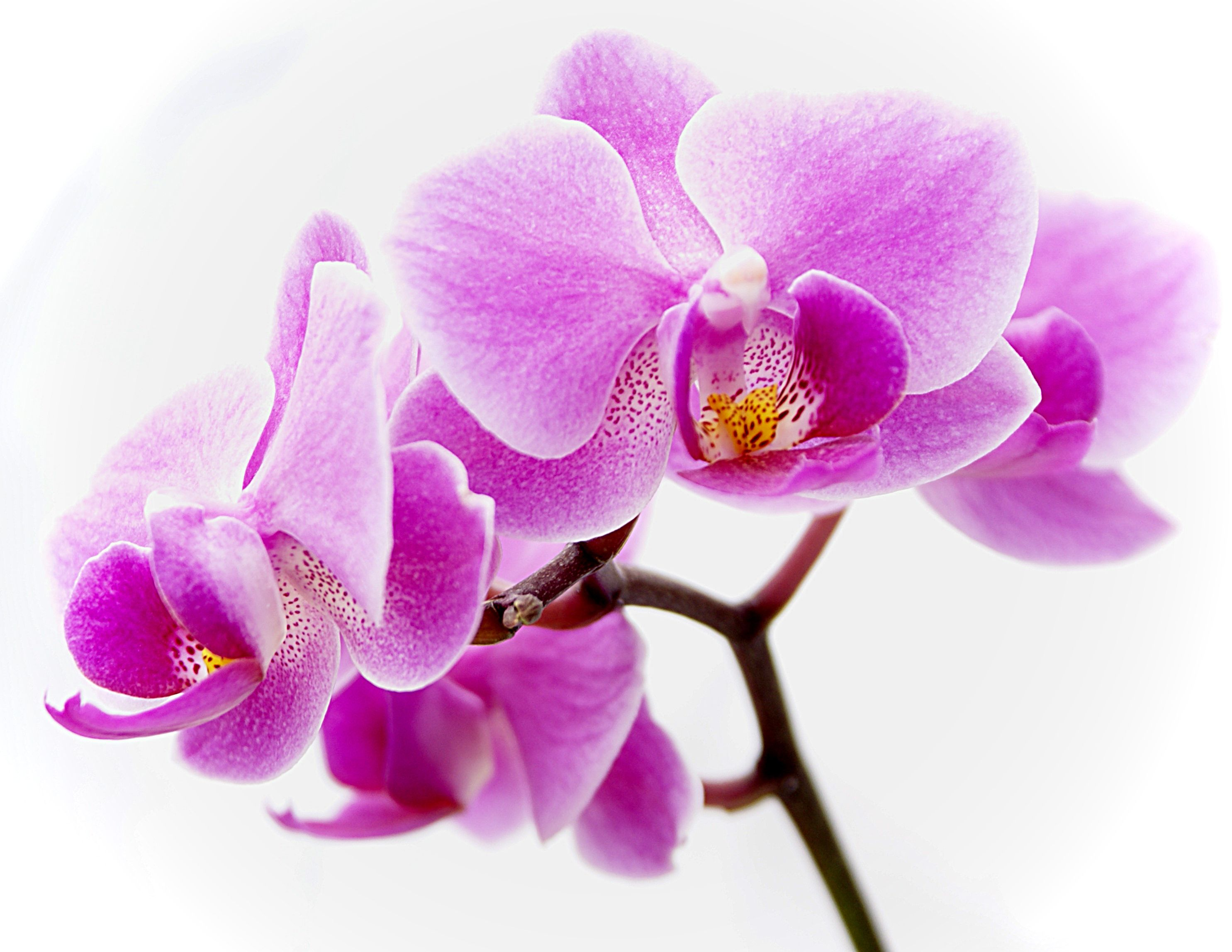 Here You Can See The Free Purple Orchid Clipart Collection