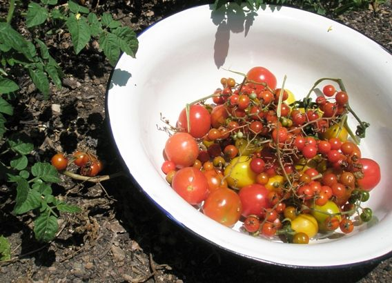 Summer heirloom tomatoes harvest at Vaucluse House kitchen garden. Photo Jacqui Newling © HHT