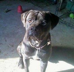 Adopt Moose On Animal Rescue League Corso Dog Mastiff Dogs