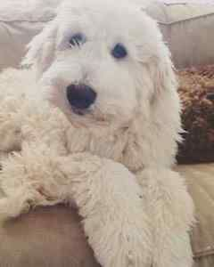 Goldendoodle Looking Forever Home Dogs Puppies For Sale City