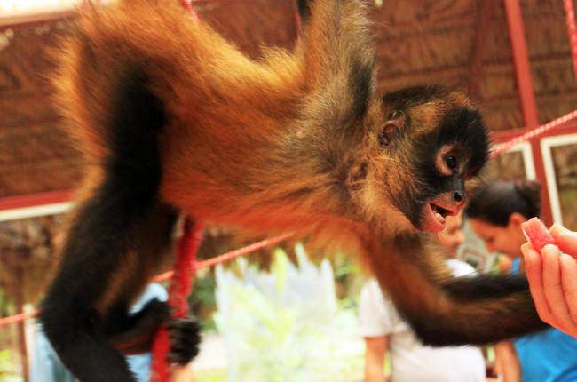 jaguar rescue center spider monkey   - Costa Rica