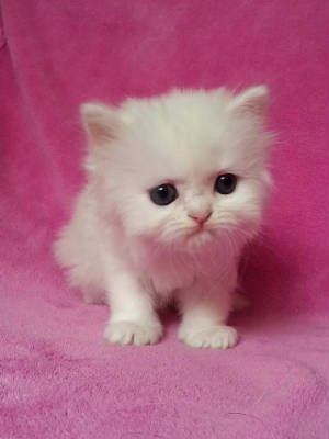 Available Himalayan And Persian Kittens Persian Kittens Pretty Cats Cute Cats