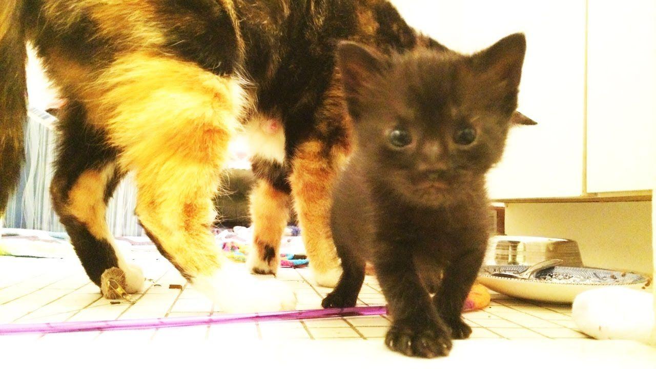 Tiny Kittens Learning To Walk Tumbleweed Tumbling Youtube Newbornkittens Kittens Fosterkitten Cute Kitten Gif Tiny Kitten Kittens
