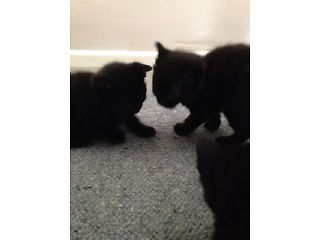 Kittens For Sale Epsom Picture 1 Kittens Kitten For Sale Pets