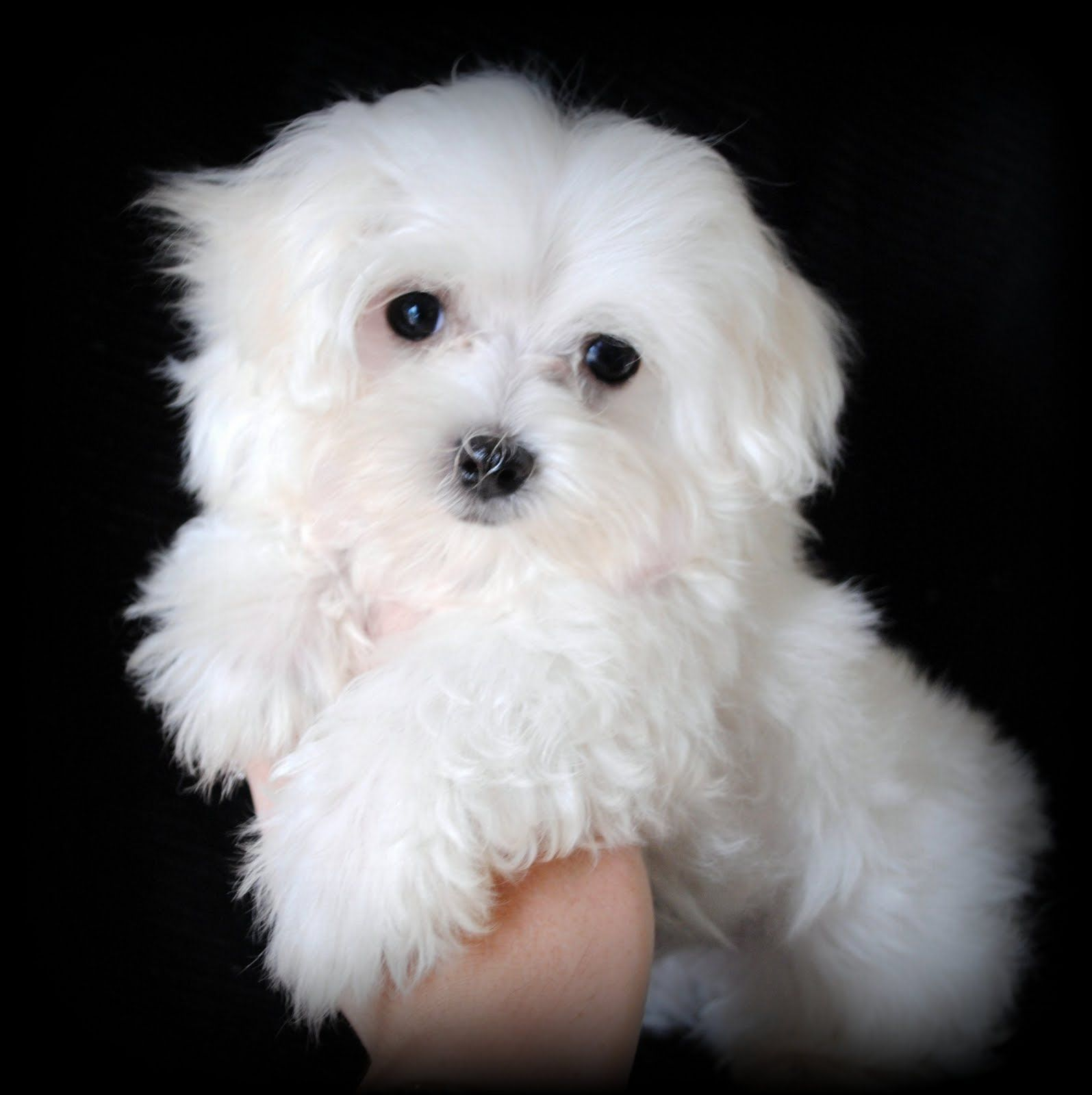Maltese Puppies for Adoption | We also breed Maltipoos ... Black Maltese Poodle Puppies