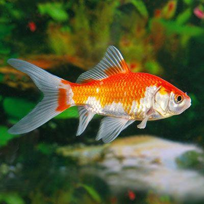 Best 25+ Comet goldfish ideas on Pinterest | Silver fish ...