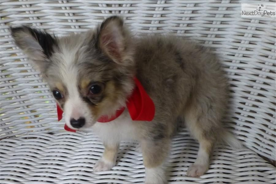 Cute Chihuahua Puppies Price 2021