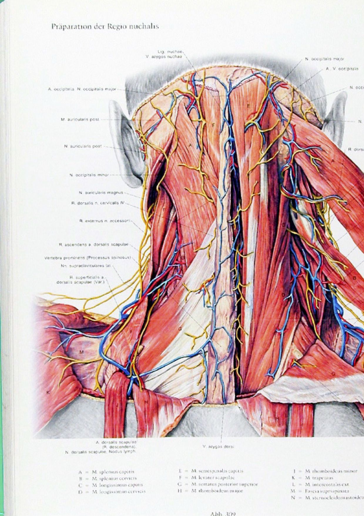 Excepcional Gato Anatomía Disección Modelo - Anatomía de Las ...