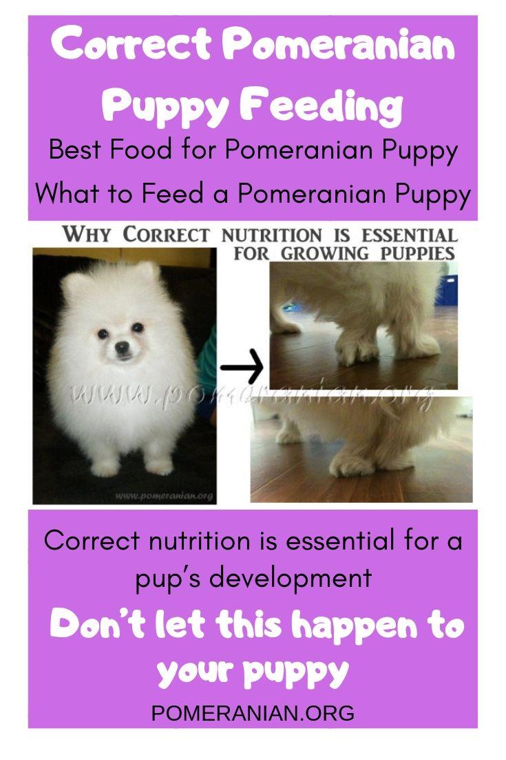 Best Food for Pomeranian Puppy in 2020   Pomeranian puppy ...