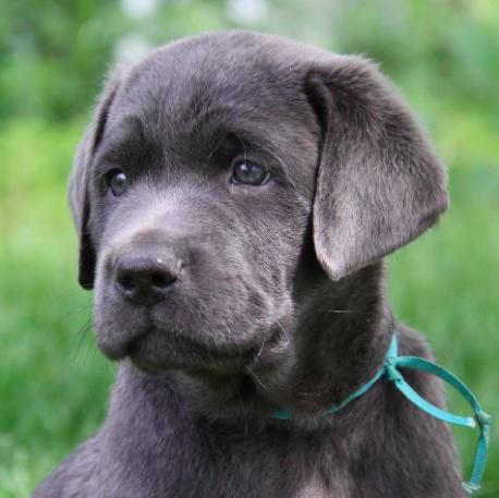 Good Breeder Silver Rain Labradors Llc Labrador Retriever Puppy Pictures Breeders