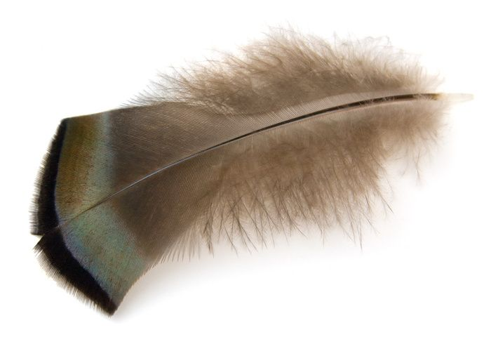 Wild Turkey Feather Photo Picture Definition Wild Turkey