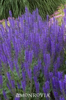 May night salvia tall spikes of indigo blue flowers top compact flowers mightylinksfo Image collections