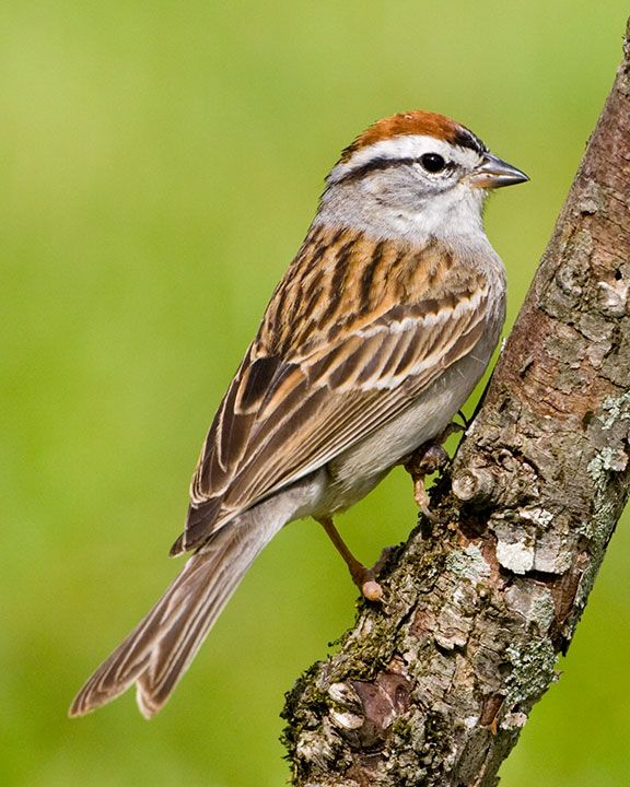 Chipping Sparrows nest all over the place here in the