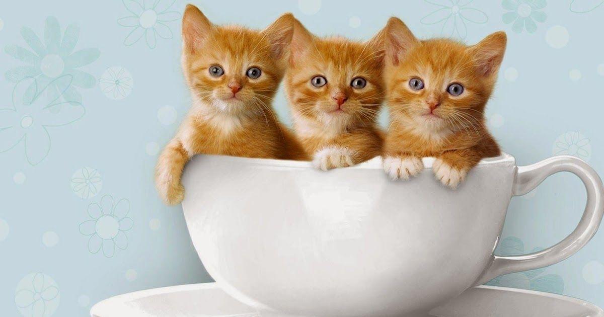 Walpaper Kucing Lucu Hd Sempoa Dunia