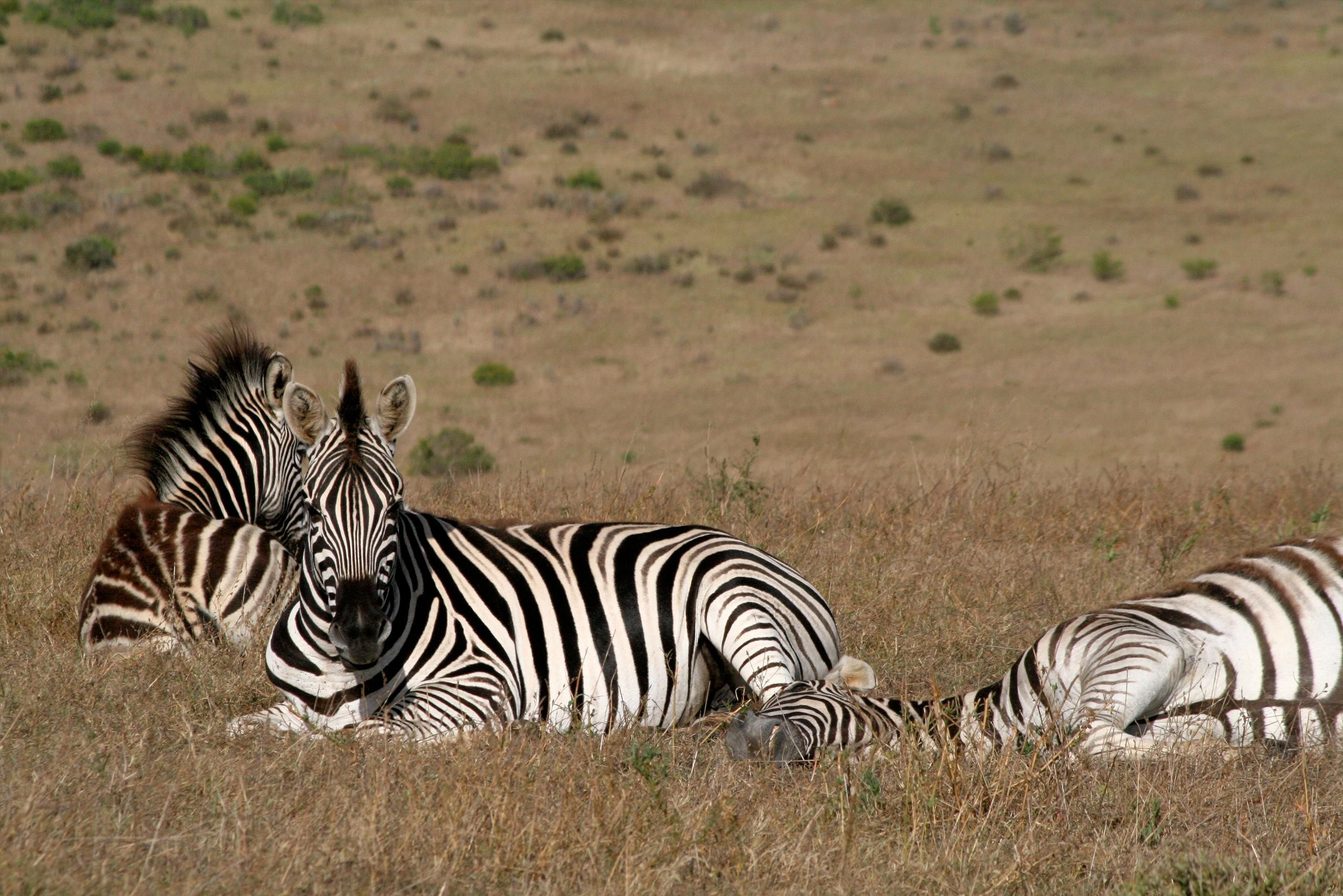 Zebra, Garden Route Game Lodge, South Africa