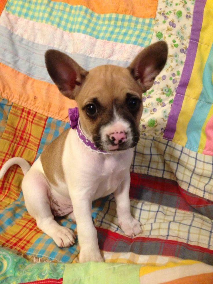 French Bullhuahua French Bulldog Chihuahua Mix Info Puppies