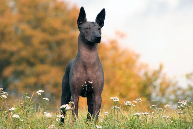 A List Of Animals That Start With X This Large Collection Of Animals Starting With X Contains The Meaning And An Hairless Dog Mexican Hairless Dog Dog Breeds