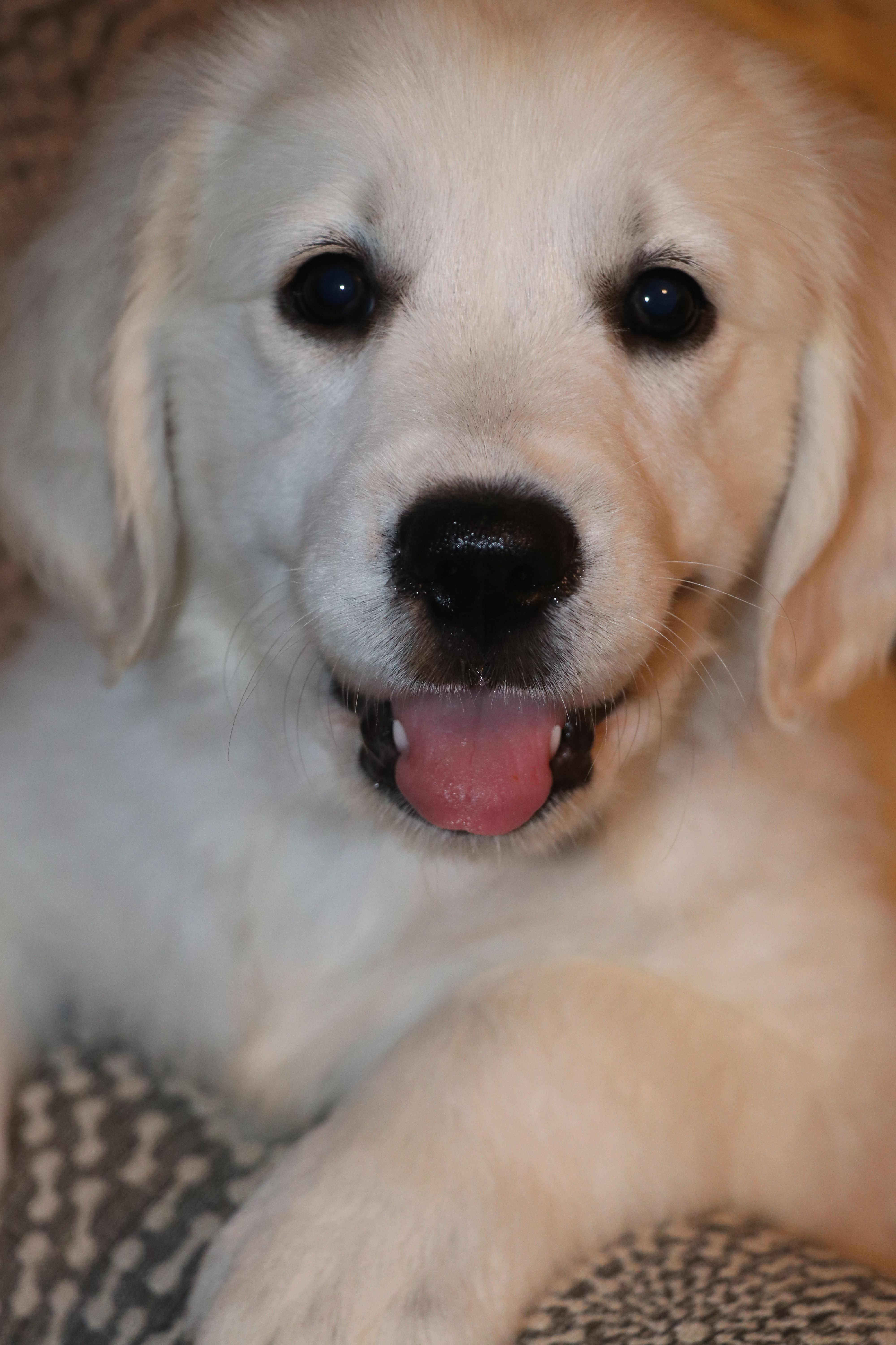 Breed Golden Retriever Gender Female Registry Akc Personality