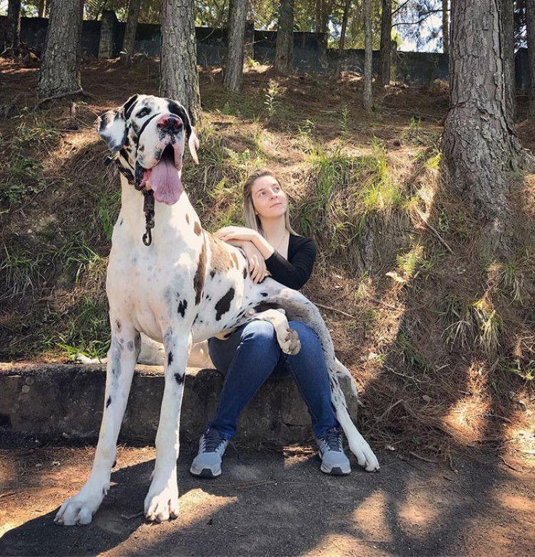 Great Danes Dane Dog Dane Puppies Great Dane Funny