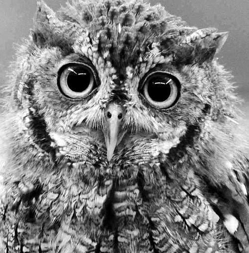 black and white animal photo | OnlyPositive.Net | All ... Baby Owl Black And White