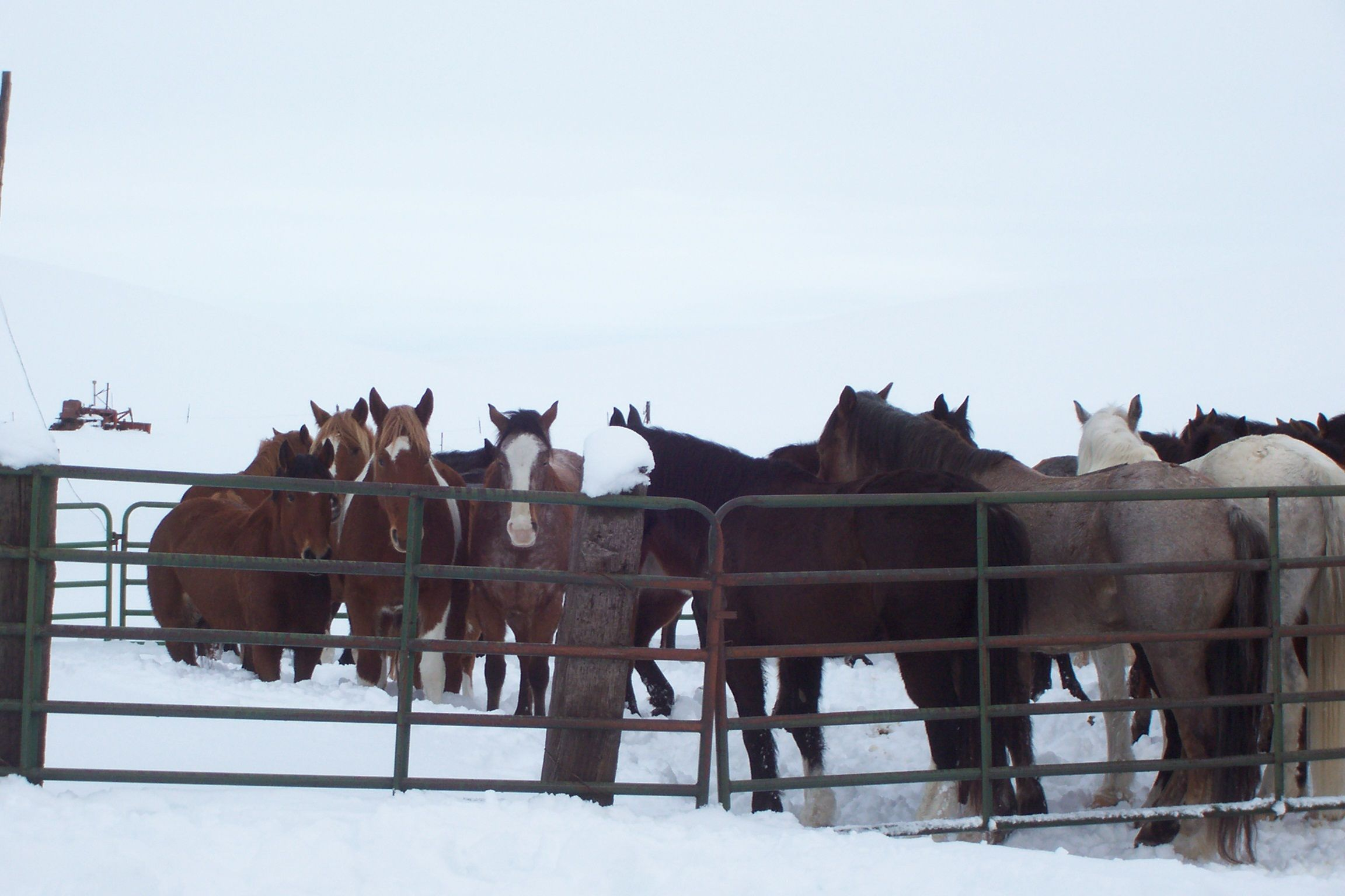 One Snowy Day 25 Beautiful Horses Came Down Our Country