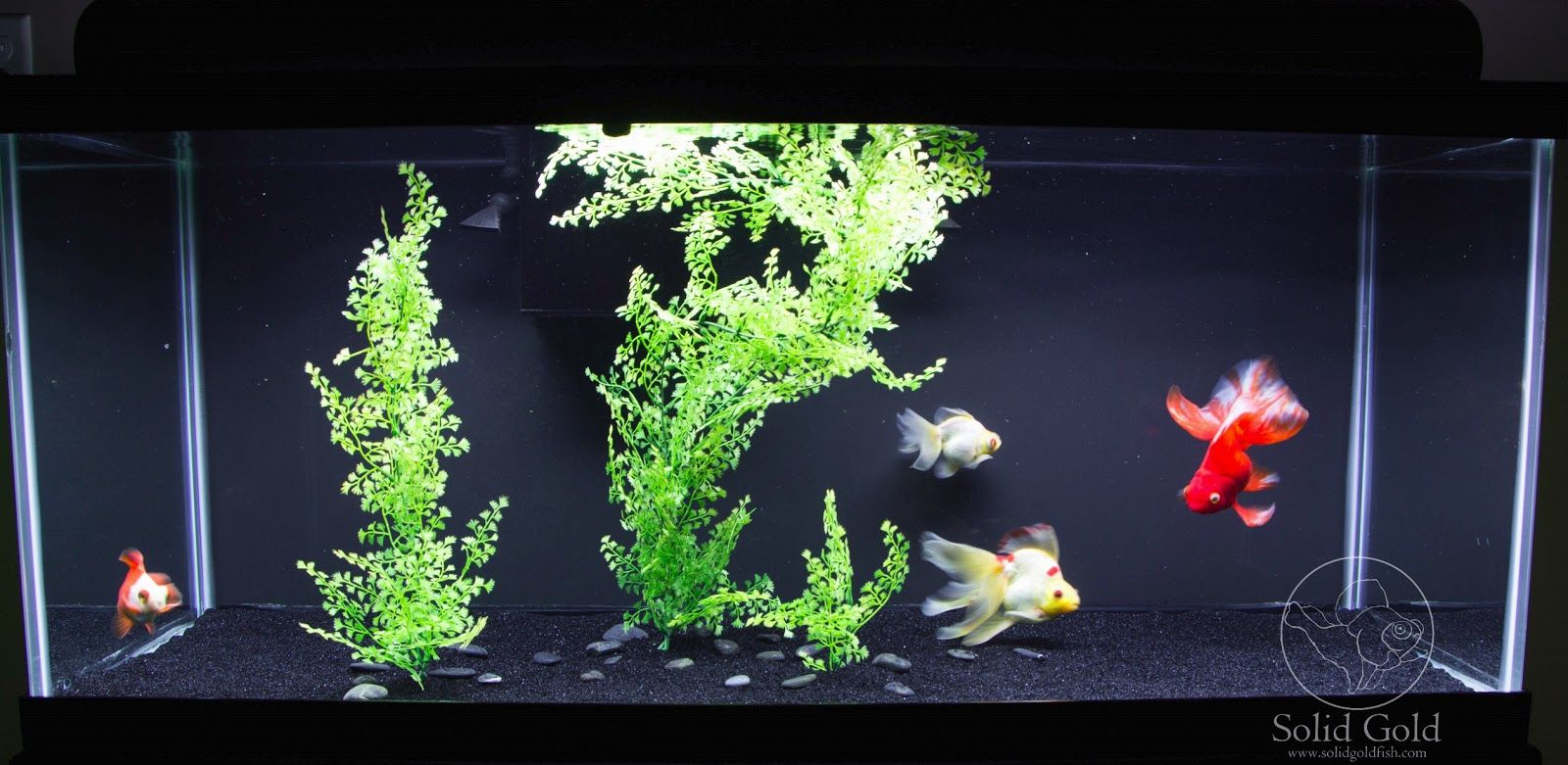 Image result for goldfish tank solidgold aquatics