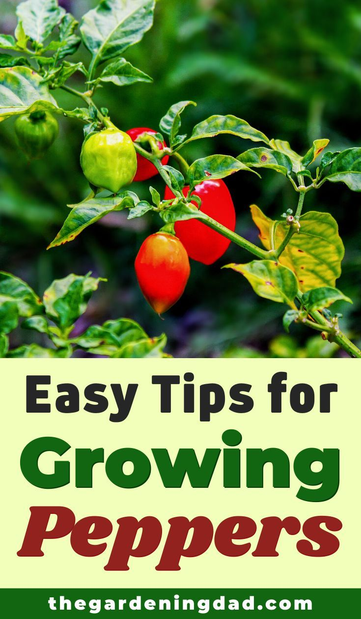 7 easy steps how to grow peppers from seeds the