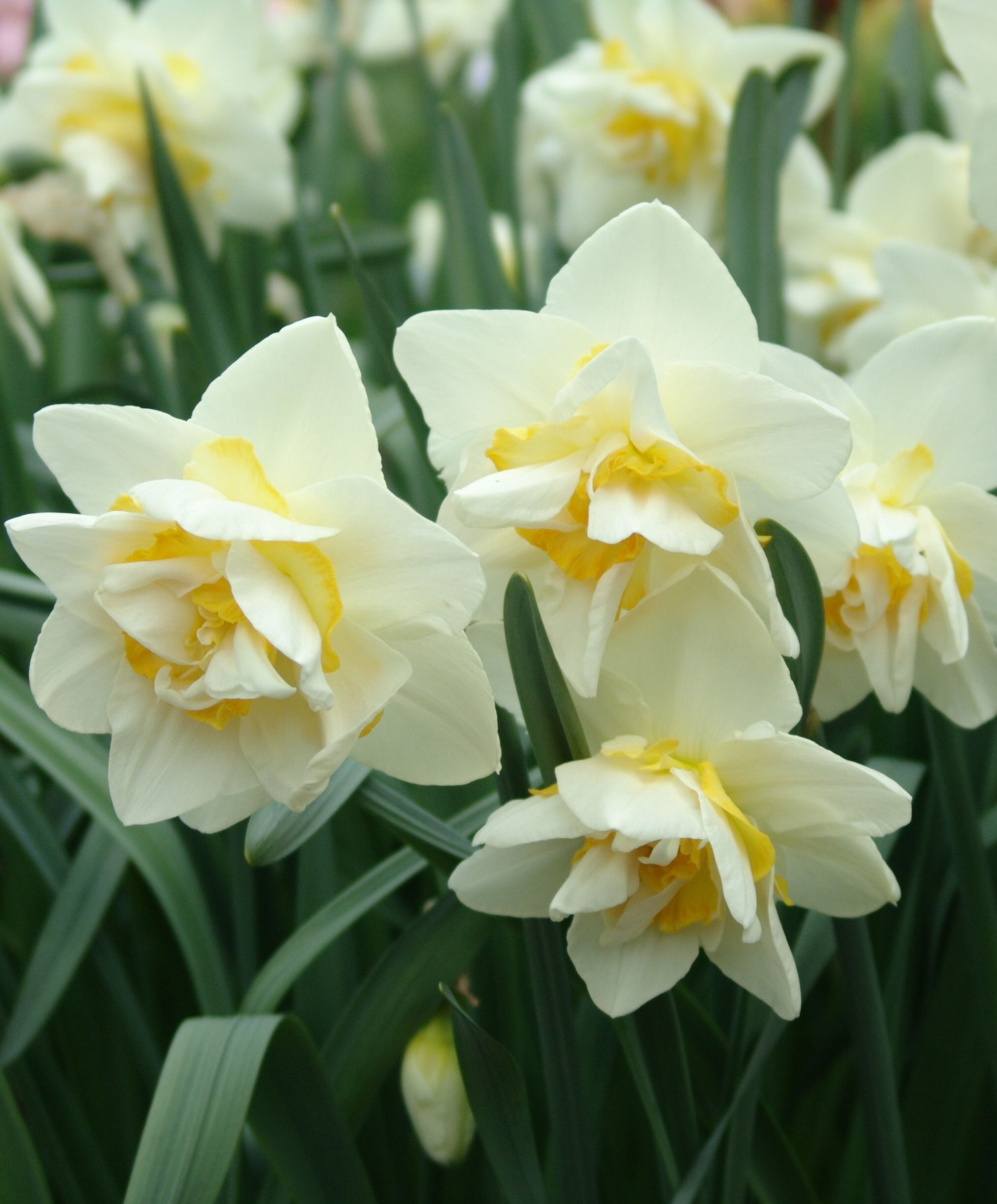 Double White Lion 8583 Selections From The John Scheepers Beauty From Bulbs Dutch Flower Bulbs Catalog Narcissus Flower Bulb Flowers Narcissus