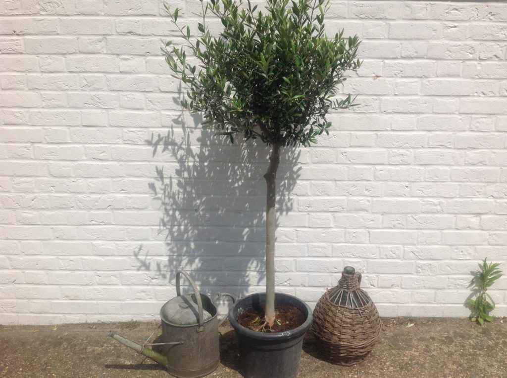 Standard open crown olive tree for sale free delivery for Olive trees for sale