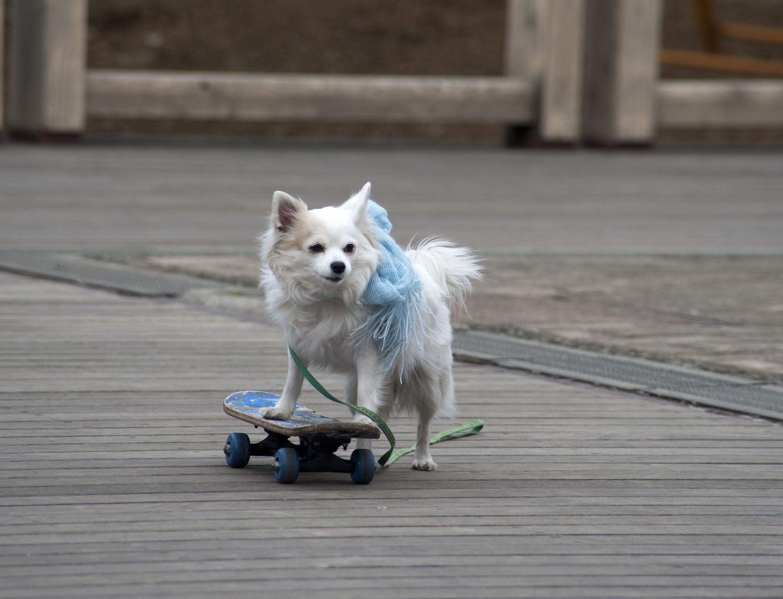 Roller skates for dogs - Dog With Skateboard