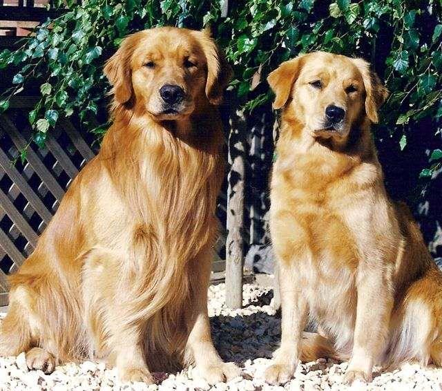 History Of Sherwood Golden Retrievers Debi Elaine Oyster Golden Retriever Retriever Dogs Golden Retriever