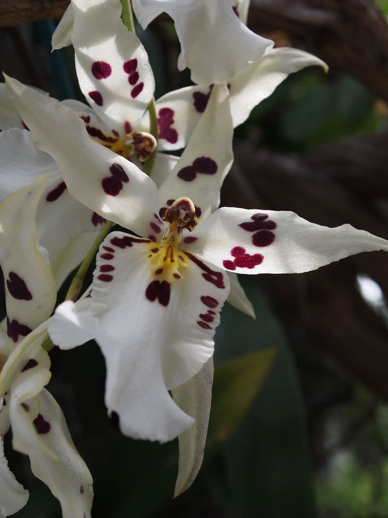 Beallara orchid| Flickr - © orchidgalore