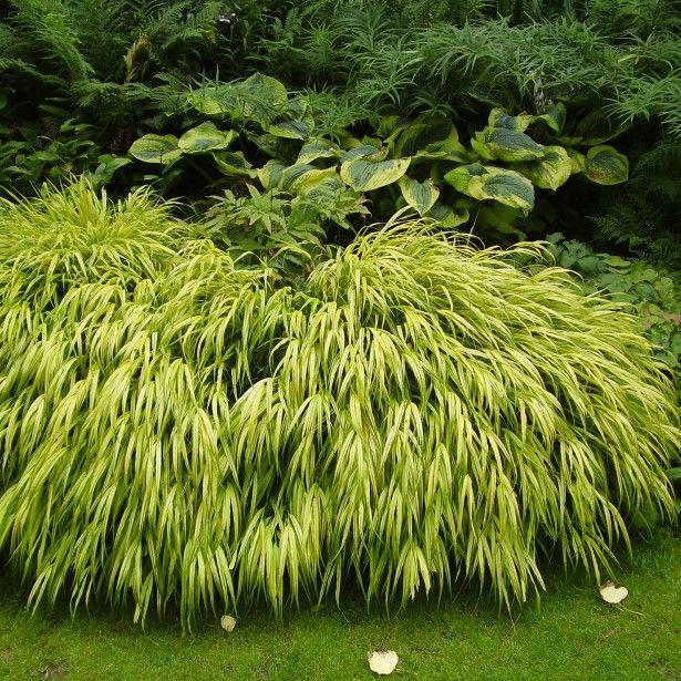 herbe du japon hakonechloa macra aureola plantes de jardin pinterest jardins plantes et zen. Black Bedroom Furniture Sets. Home Design Ideas