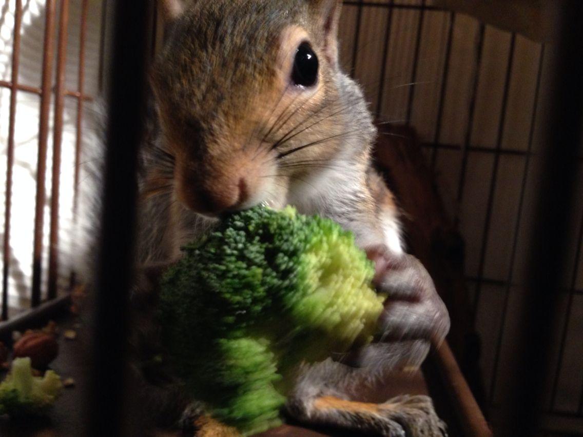 Squirrel & brocoli