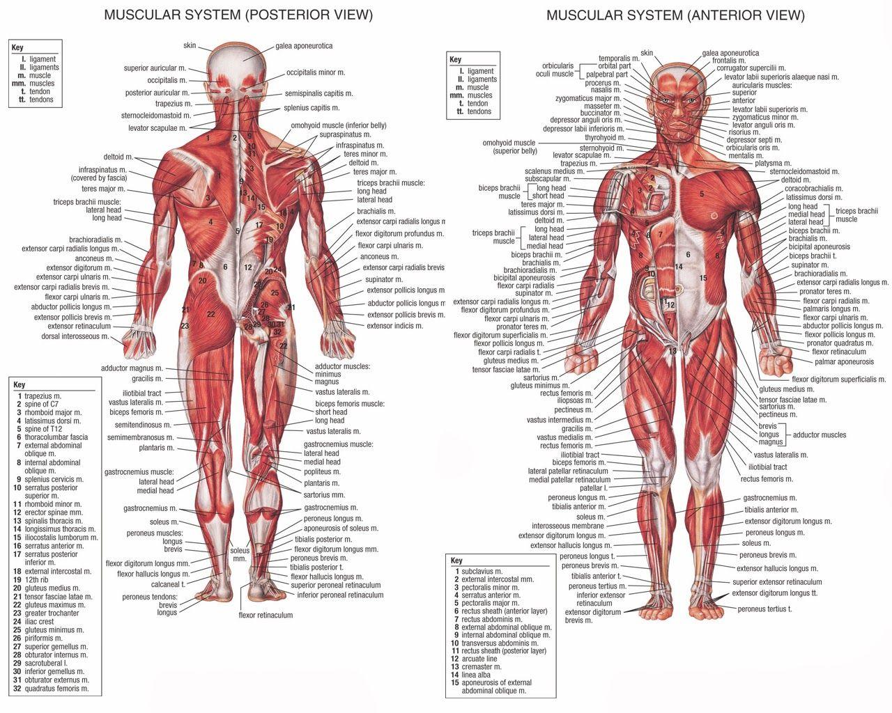 Human Body Systems Chart Key Human Body Muscles Chart The ...