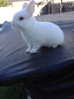 Purebred Netherland dwarf Rabbits Gumtree Australia