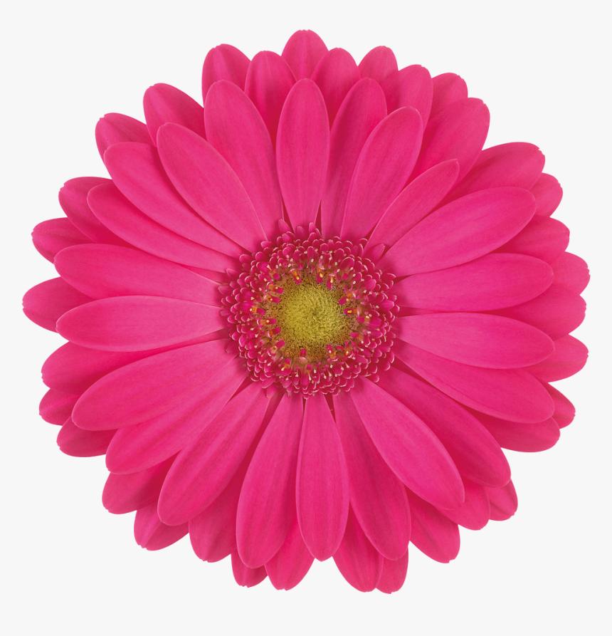 Google Image Result For Https Www Kindpng Com Picc M 110 1109935 Pink Gerbera Daisy Flower Hd Png Download Png In 2020 Pink Gerbera Gerbera Daisy Daisy Flower