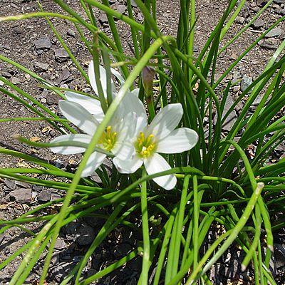 Zephirantes zephirantes candida plantas plantas for Vivero de plantas exoticas