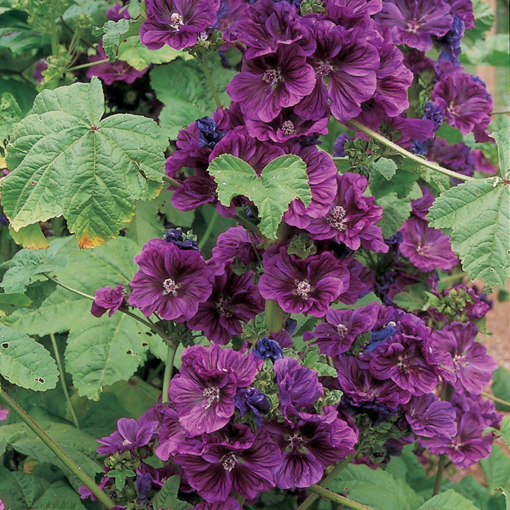 Malva Sylvestris Ssp Mauritanica Pinterest Perennials Gardens