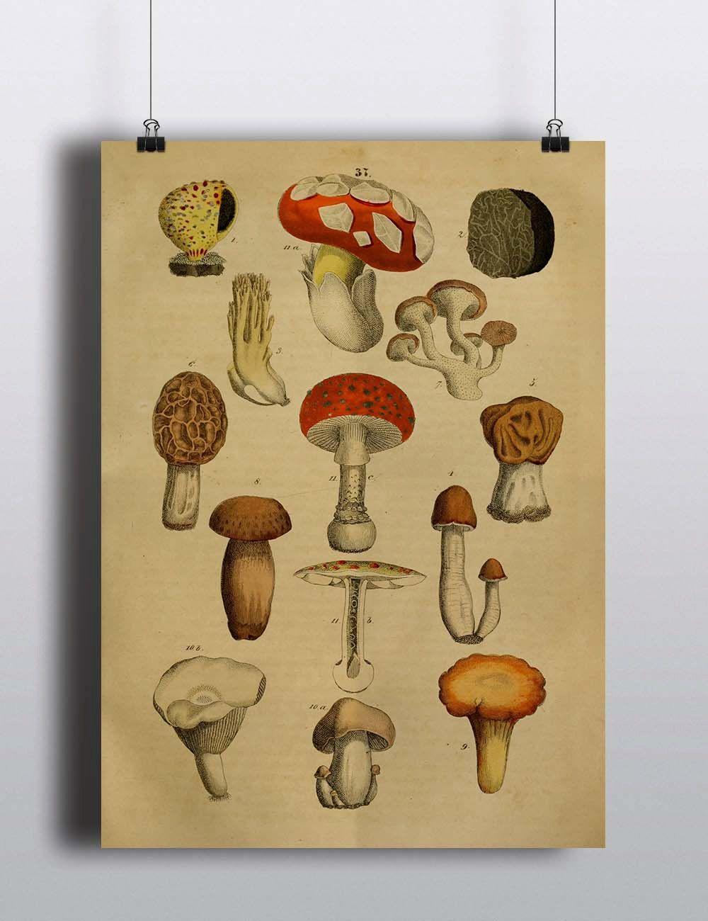Antique 1800s Mushroom Botanical Print Poster Art Print Illustration ...
