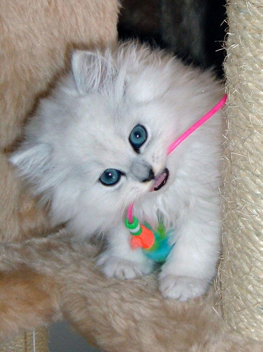 Dearheart Charles Jpg White Cat Cats Photographer