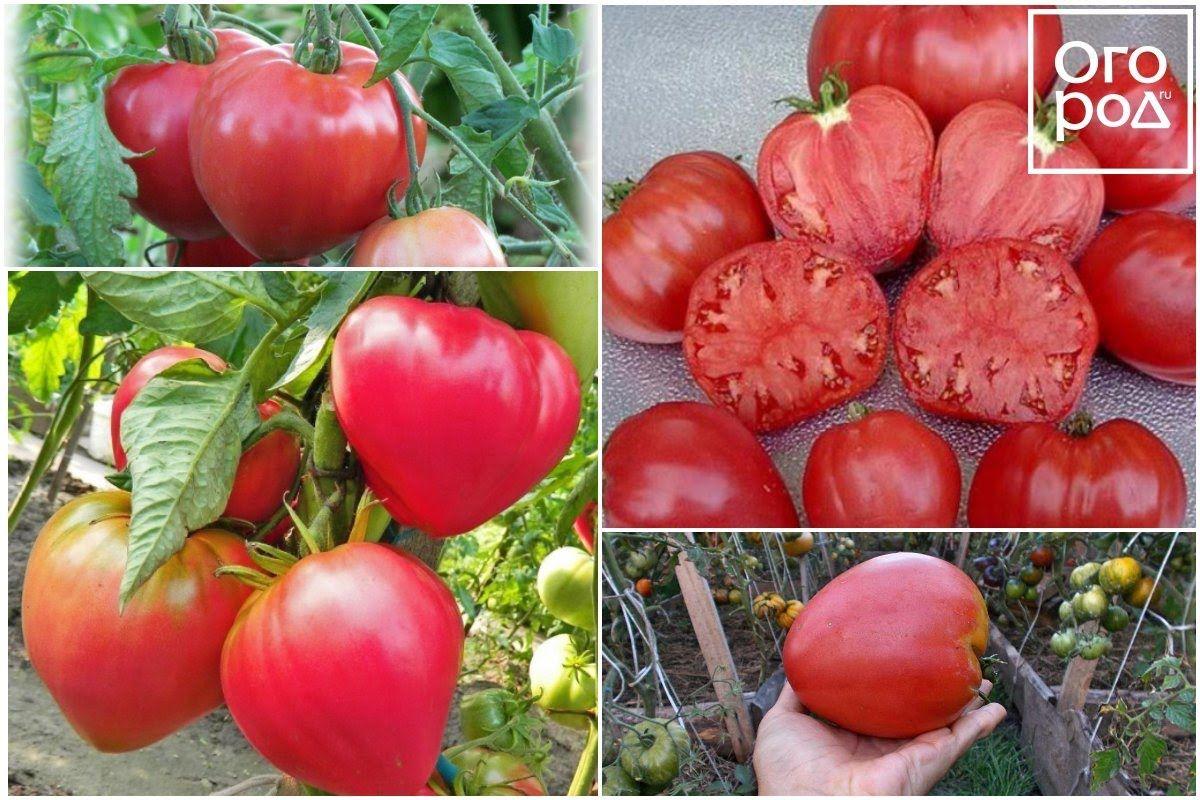 рейтинг томатов для теплиц